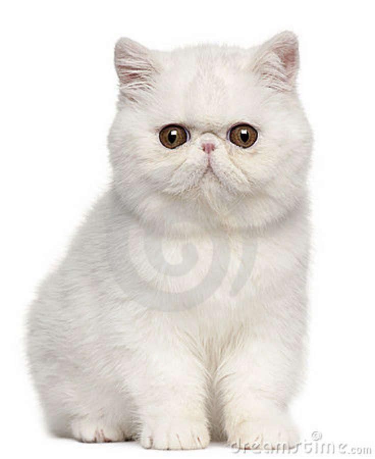 Exotic Shorthair Kitten - so cute! | digital shopping cart ...