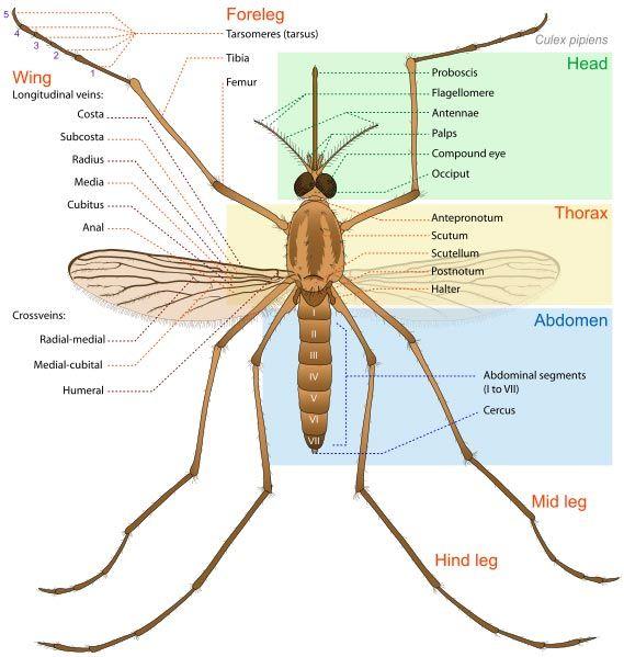 Este diagrama de la anatomía del mosquito etiquetas de las ...