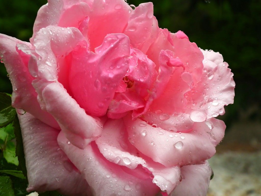 How to Revive Your Valentine's Day Roses (With images