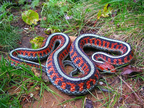 California Red Side Garter Snake With Images Beautiful Snakes