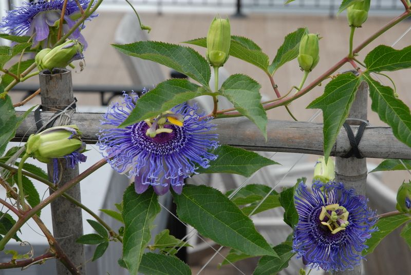 Passiflora Temptation Passion Flower Passiflora Flowers