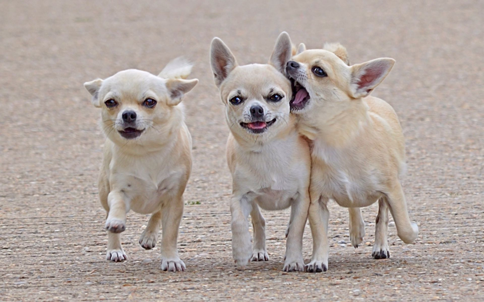 Chihuahua Stand In Middle Lovely Chihuahua Wallpaper
