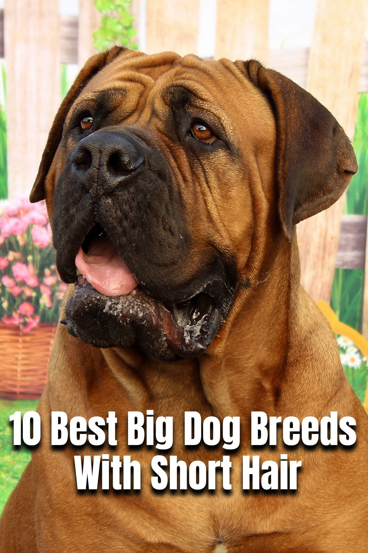 10 Best Big Dog Breeds With Short Hair In 2020 Best Big Dog Breeds Big Dog Breeds Dog Breeds