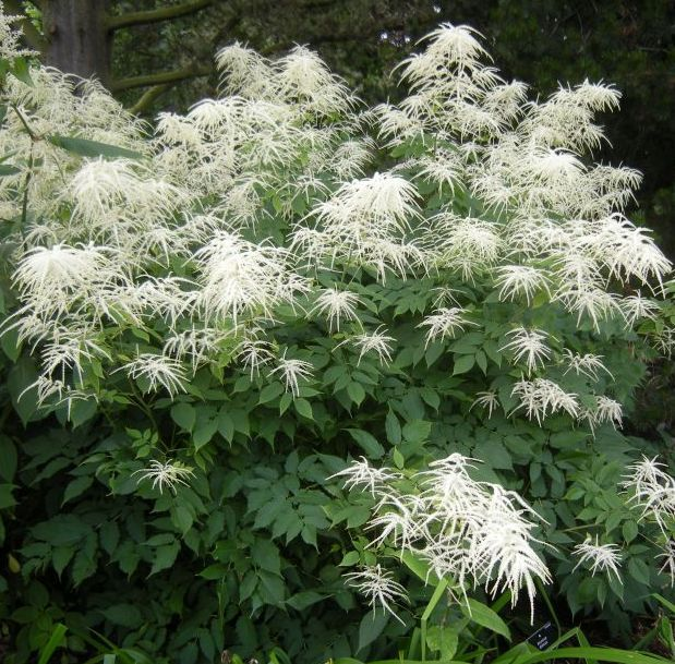 4 6foot tall goat 39 s beard shade plant aruncus dioicus for Hardy flowering trees