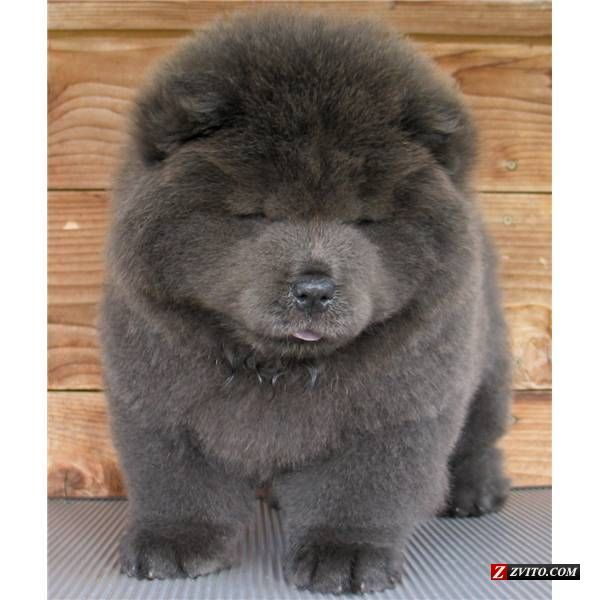 Dream Dog Blue Chow Puppy Chunky Puppies Chow Chow Puppy Dogs