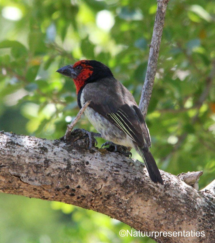 Zwarthalsbaardvogel