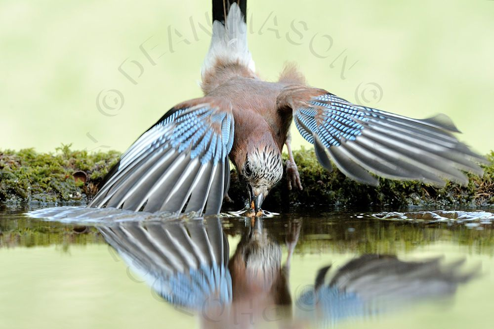 Eurasian Jay & Reflection Pool by Dean Mason on 500px