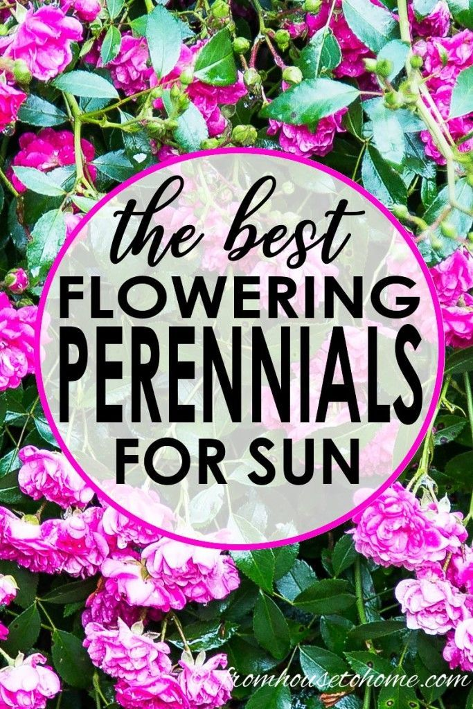 Perennial Ground Cover Full Sun: Full Sun Perennials: 10 Beautiful Low Maintenance Plants