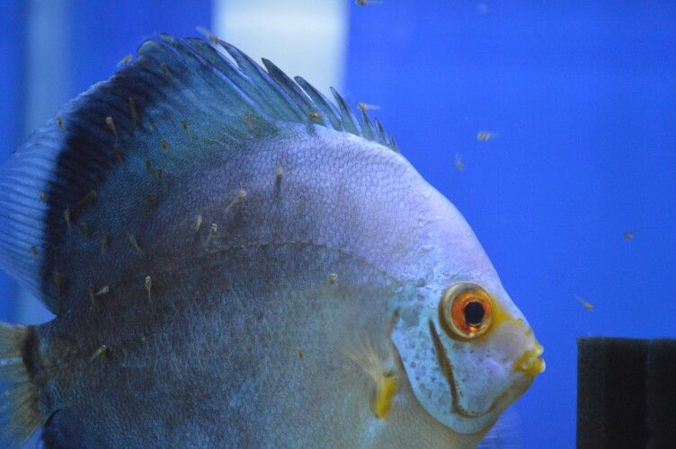 Baby Discus Fish | Mom And Baby Discus Fish Discus Fish Pinterest Discus And Animal