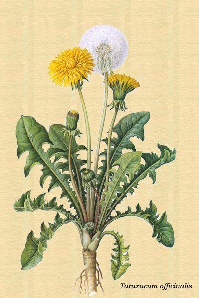 diente de león | Dibujos de plantas medicinales, Plantas ...