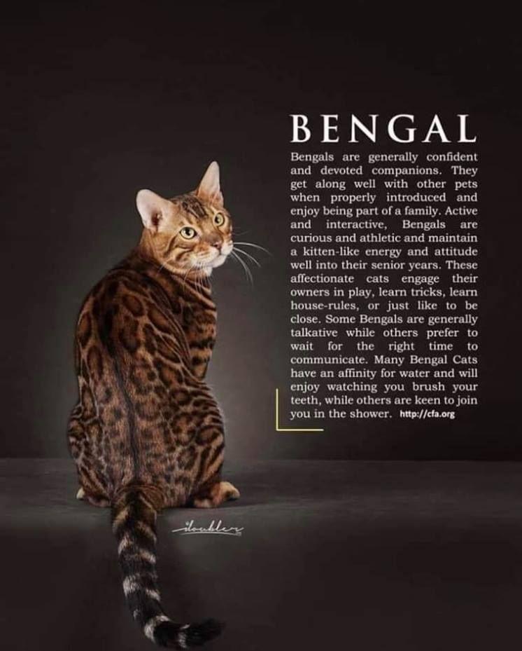 Bengal Cat Bengal Kitten Bengal Cat Bengal Cat Personality