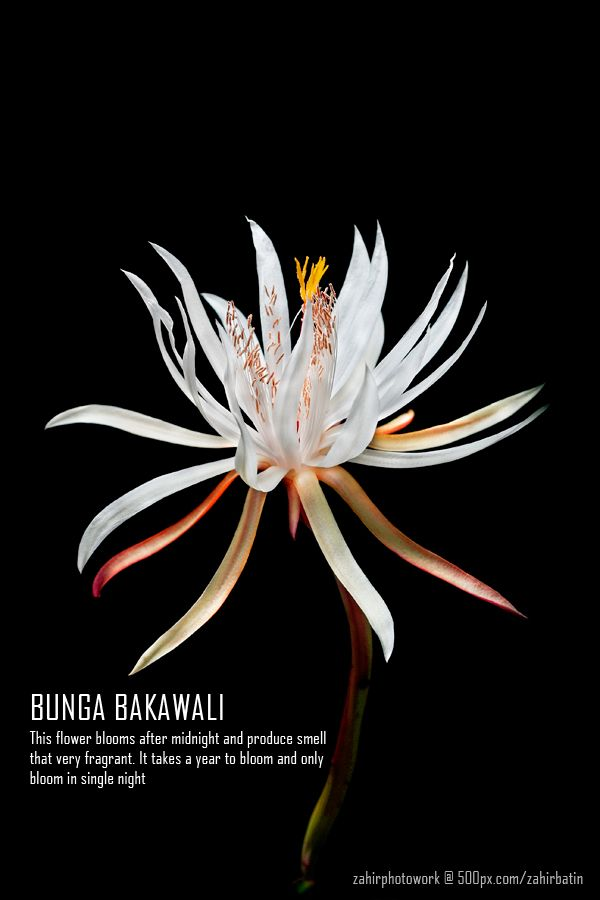 Bunga Bakawali This Flower Blooms After Midnight And Produce