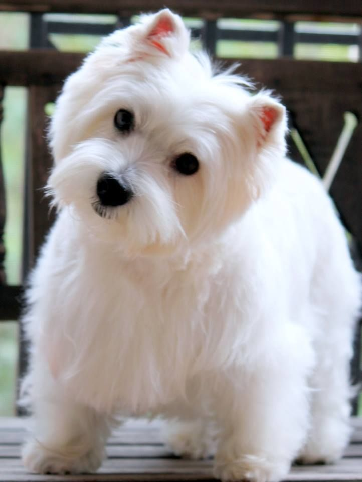 Abbey Says Hello From Sarasota Florida Westie Dogs Cute Dogs And Puppies Cute Dogs