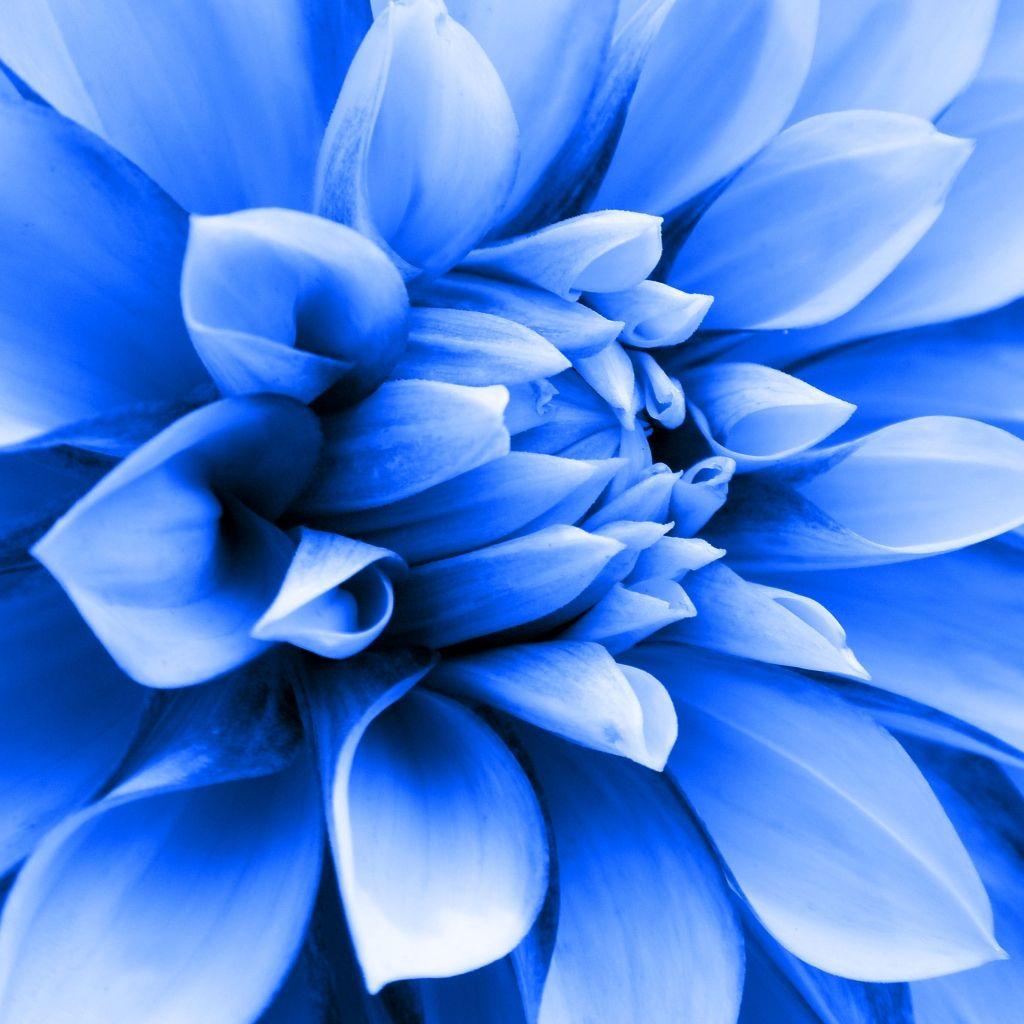 Navy Blue Dahlias Blue Dahlia Blue Garden Blue Flowers