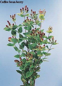Common Name Coffee Bean Berry Botanical Name Hypericum Flowers Name List Calyx Flowers Flower Names