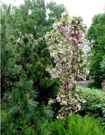 cerisier du japon 39 amanogawa 39 mini jardin pinterest cerisier cerisier japonais et jardins. Black Bedroom Furniture Sets. Home Design Ideas