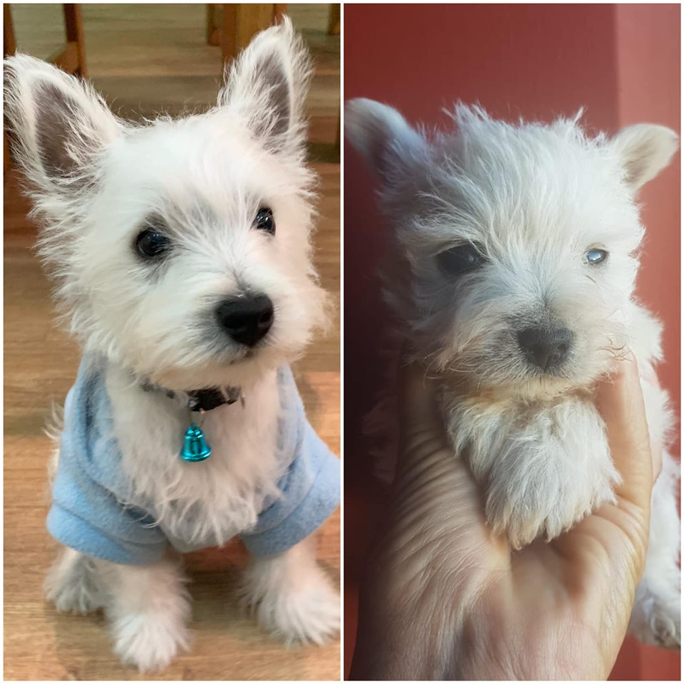 My Baby Cupie Is 3 Months Old Today Westie Puppies Westie Dogs