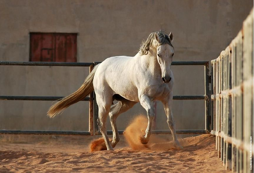 Saudi Arabia Arabian Horse Horses Arabian Horse Saudi Arabia