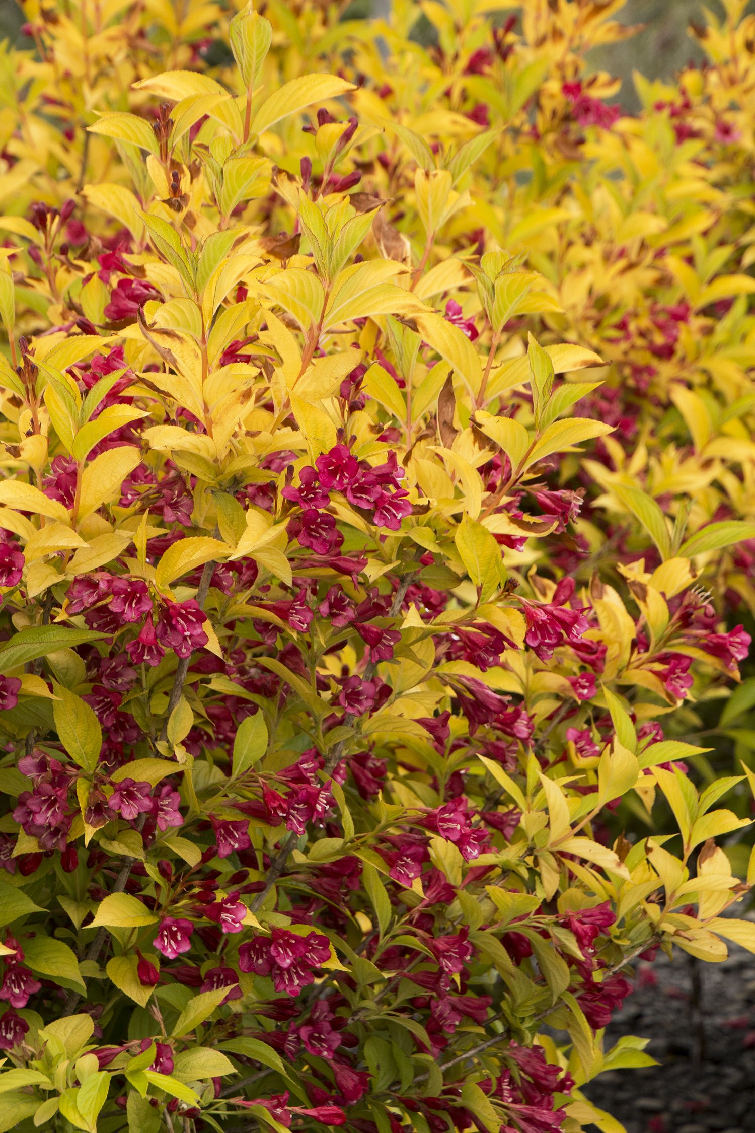 Golden Jackpot Weigela Is Perhaps The Brightest Yet This Exciting New Shrub Shines