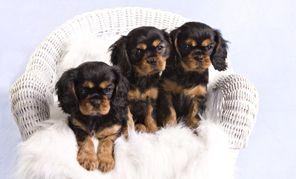 'Black and Tan' Cavalier King Charles Spaniel puppies