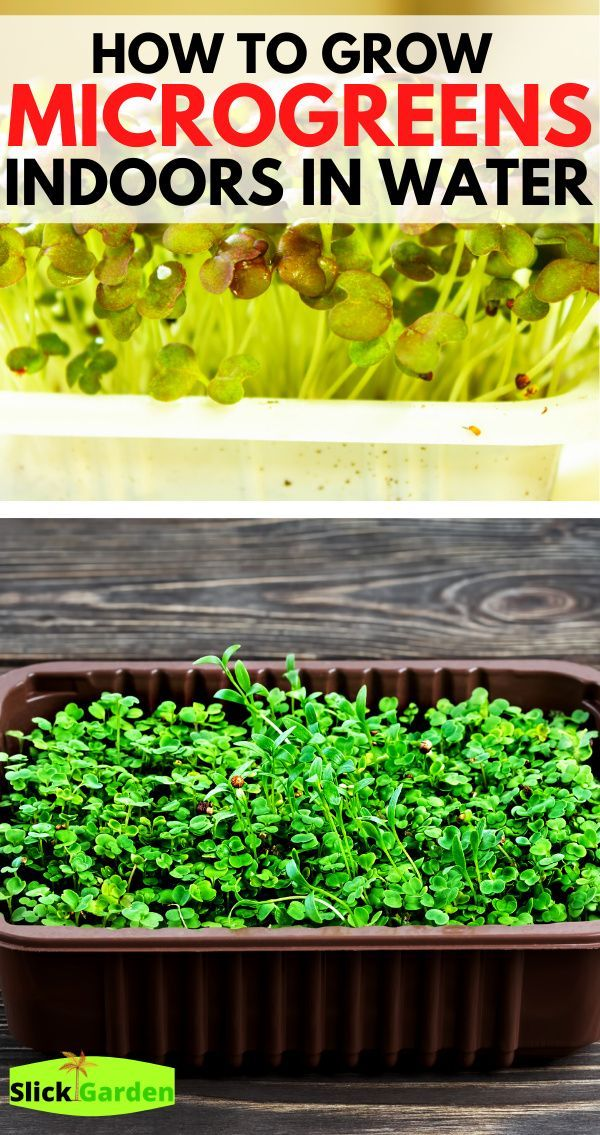 How To Grow Microgreens Indoors In Water In 2020 Growing Microgreens Growing Vegetables Microgreens