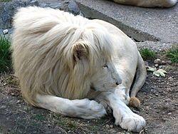 White lion - Wikipedia, the free encyclopedia