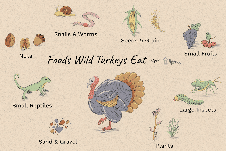 What Do Wild Turkeys Eat Wild Turkey Turkey Facts Eat