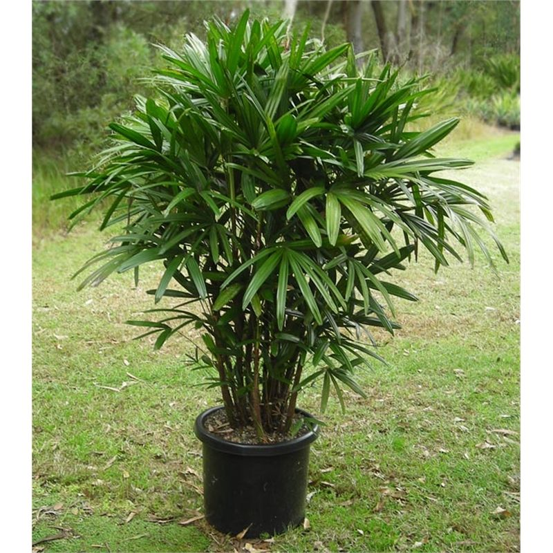 find 400mm raphis excelsa lady palm at bunnings warehouse  visit your local store for the widest