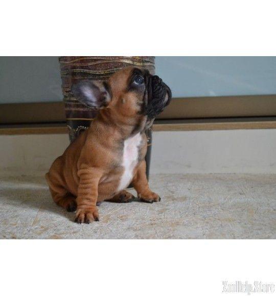 Duke French Bulldog Mix Puppy For Sale In Rising Sun Md