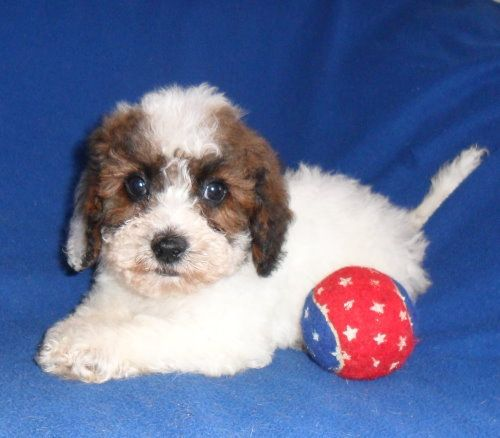 Sherry S Posh Pets Specializing In Breeding Designer Pups And Poodles Bich Poos Poo Chons Pup Poodle Pets