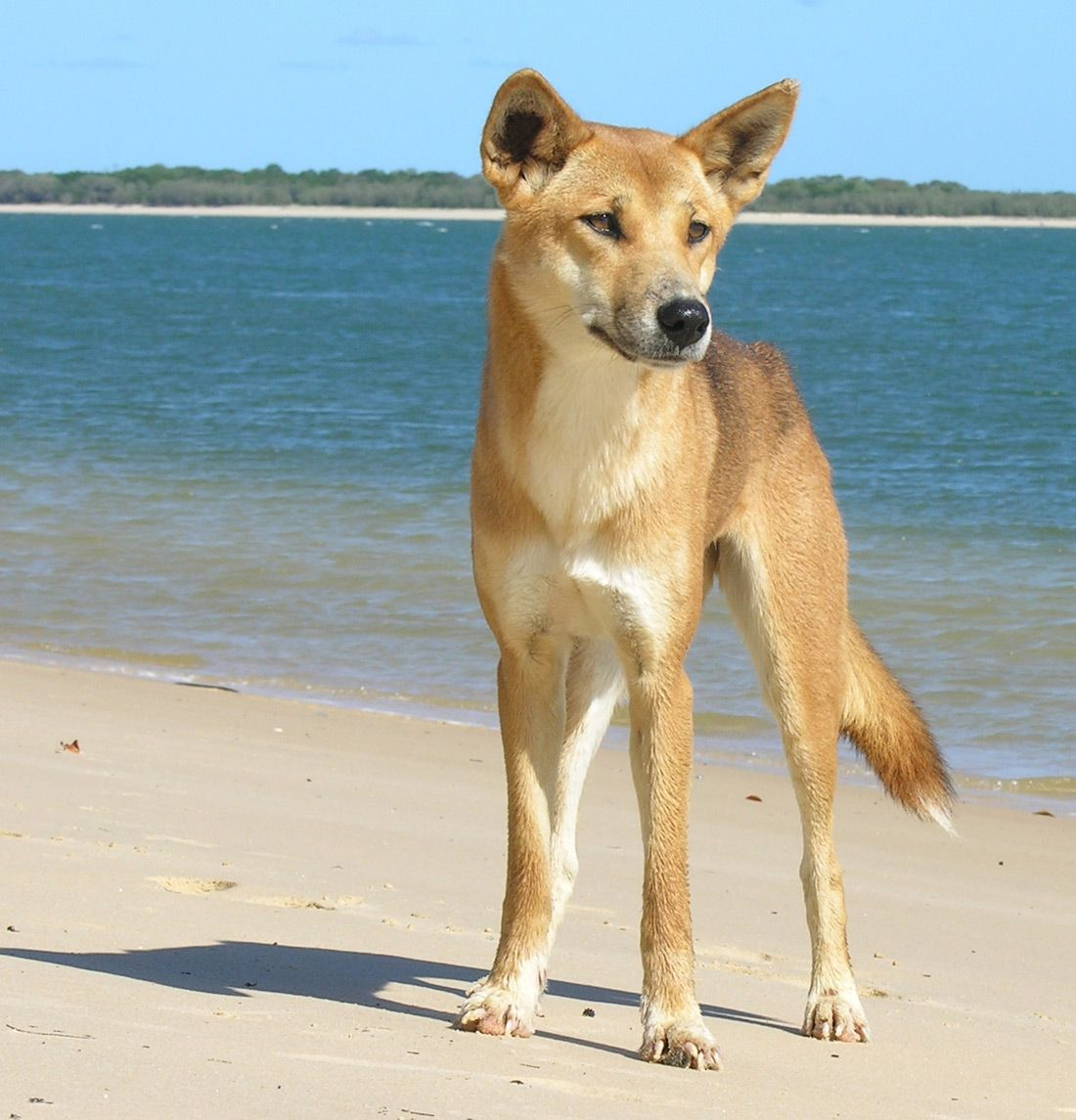 A Dingo On The 70 Mile Beach On Fraser Island Australian Animals Wild Dogs Australia
