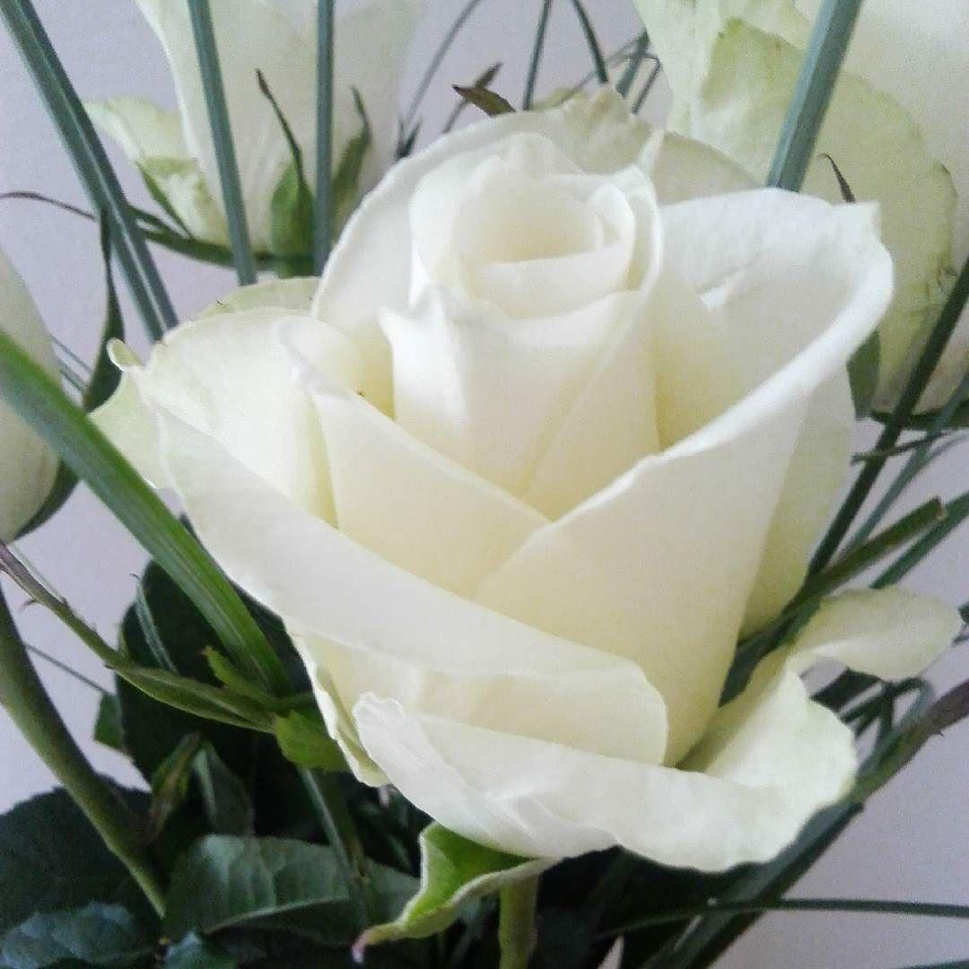 #valkoinen #ruusu #liisako