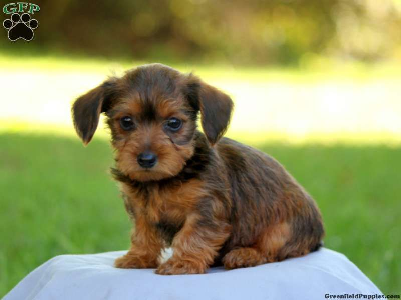 Dorkie Puppies For Sale Dorkie Dog Breed Profile Adoptable