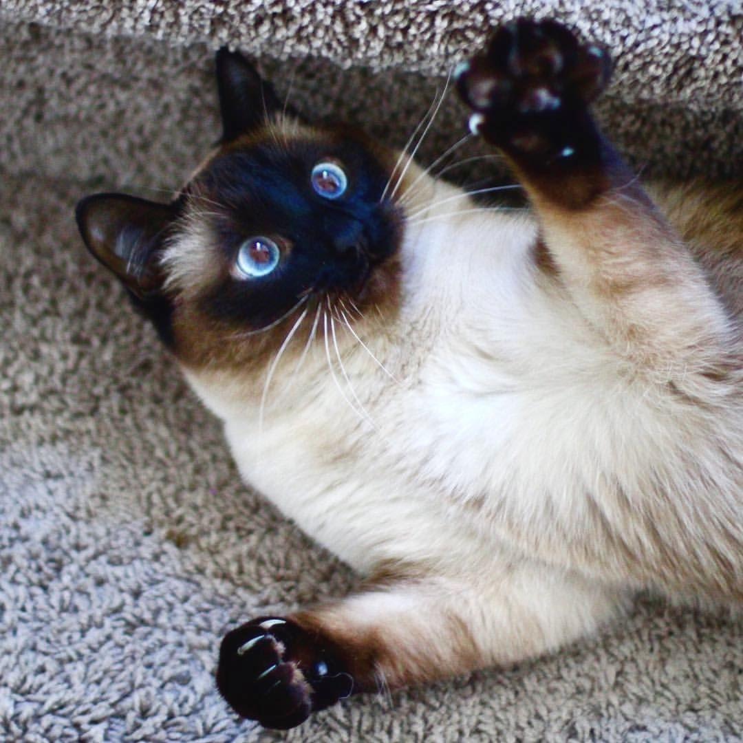 Free Meezer Hugs From Olivia Like Whoa Siamesecat Siamese Cats Cats And Kittens Cats