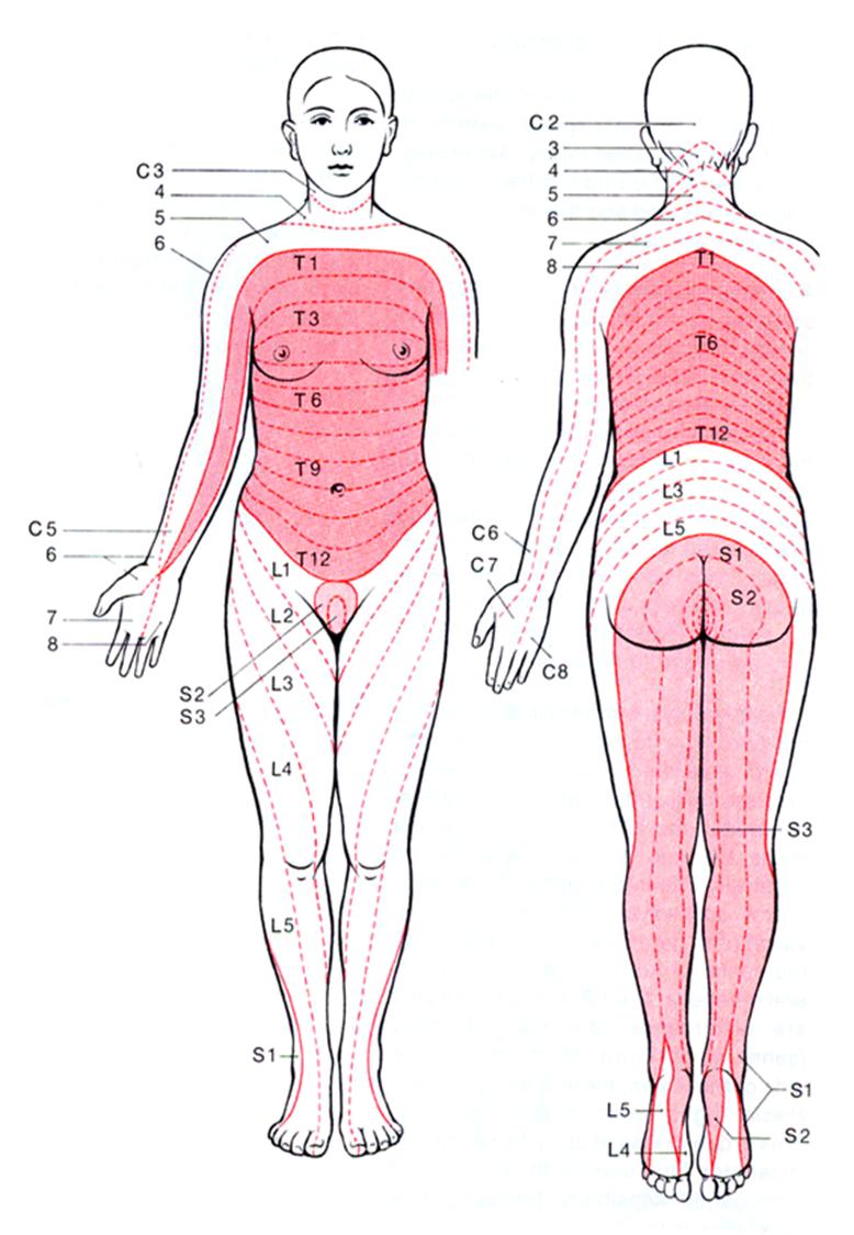 L1 = Anterior Upper Inner Thigh L2 = Anterior Upper Thigh L3 = knee. L4 =  Medial Malleolus L5 = Dorsum of foot. S1 = 4th/5th toe… | Health: Back &  Neck | Spina…