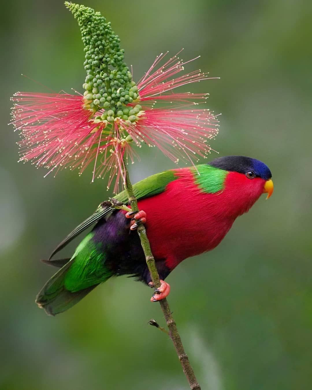 Birds Wildlife Photography On Instagram Collared Lory Phigys Solitarius Photo Location Fiji Rainforest Birds Bird Pictures Beautiful Birds