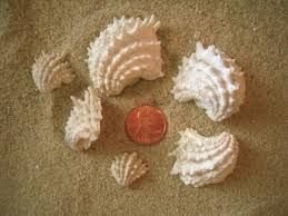Jewel Box clam seashell