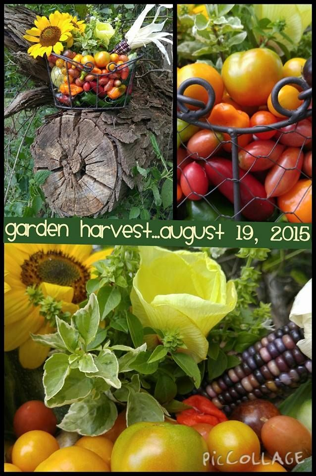 Garden Harvest...August 19, 2015 www,gardenanywherebox.com