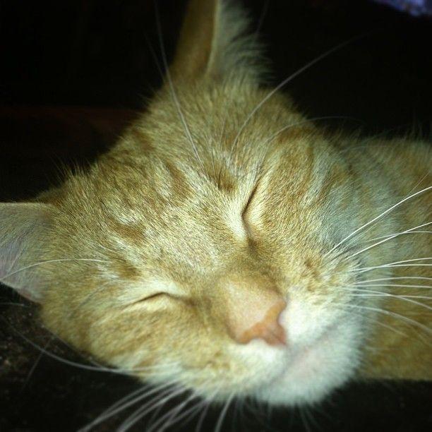 So much like my Max <3  Orange Cat Love - Gonzo