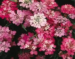 candytuft fairy mix -