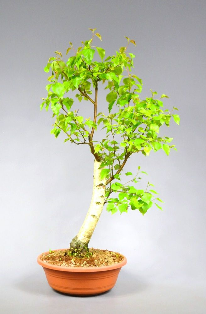 Outdoor Bonsai Birke Betula Pendula 16331 Bonsai Tree Bonsai Tree Types Indoor Bonsai Tree