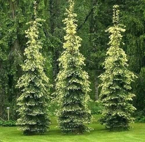 Trees For Small Spaces Zone 8 Dwarf Narrow Evergreen Tight Capital Pear Awesome Awesome Capital Dwarf In 2020 Evergreen Landscape Landscape Trees Conifers Garden