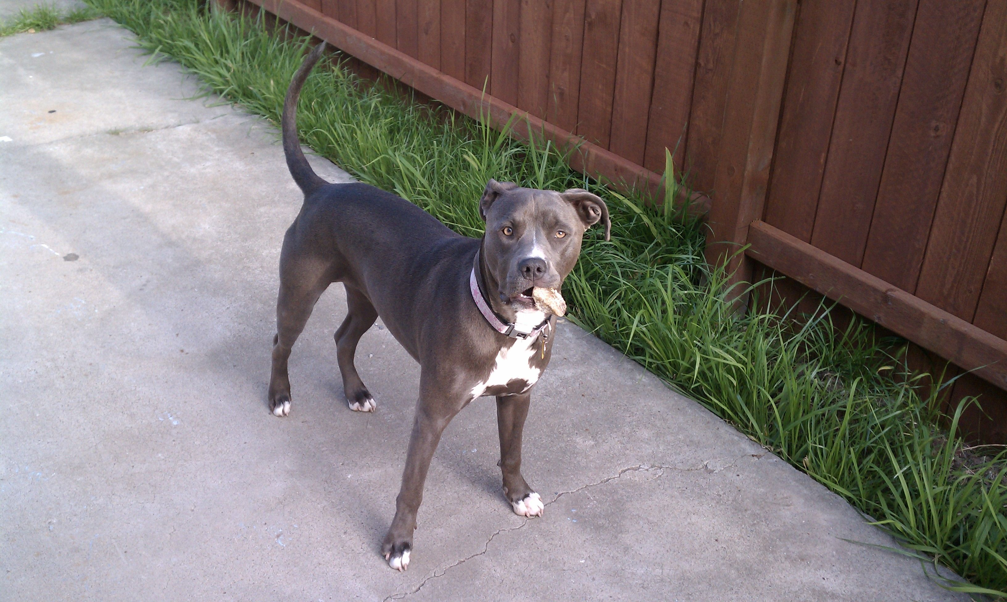 Stone My Blue Pitbull In The Backyard In City Heights San Diego Ca Blue Pitbull Dogs Puppies