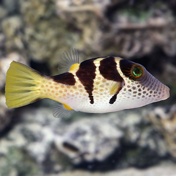 Puffer Saltwater Fish Marine Fish Invertebrates Corals Marine Fish Tank Reef Tank Saltwater Shrimps Saltwat Marine Fish Saltwater Fish Tanks Marine Fish Tanks
