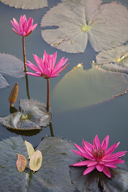 Water lilies flowers pinterest water lilies water and lotus there are so many different types of flowers from around the world this list offers some of the most popular that have their own spectacular features mightylinksfo