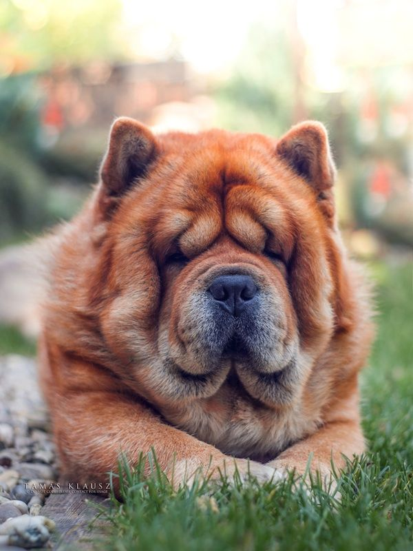 Fall In Love With Brumi An Adorable Four Year Old Chow Chow