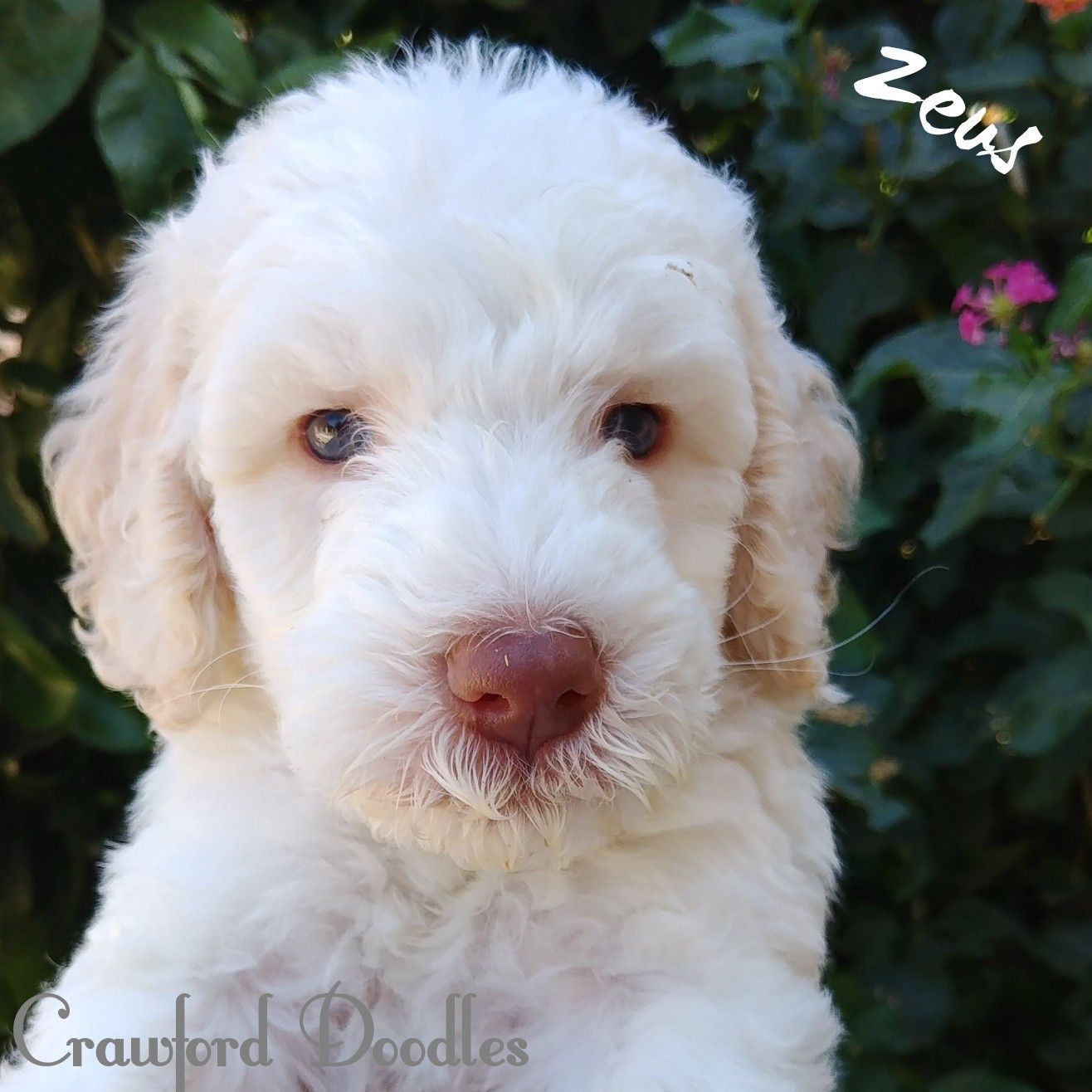 Puppies For Sale In Arizona Multi Generational Australian Labradoodles Crawforddoodles Labradoodle Puppy Australian Labradoodle Puppies Labradoodle