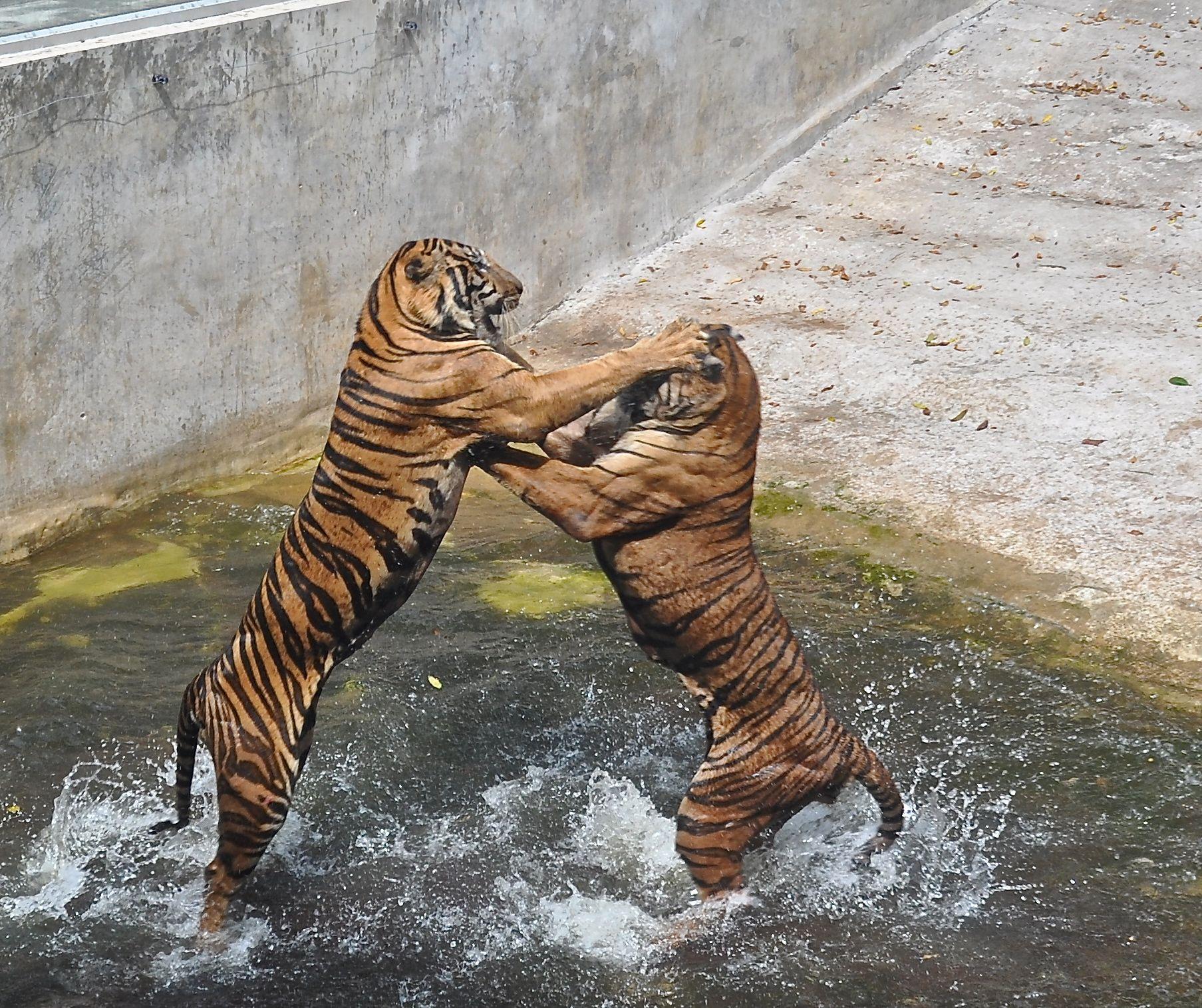Male tigers fighting, Thailand tiger farm Stephanie V