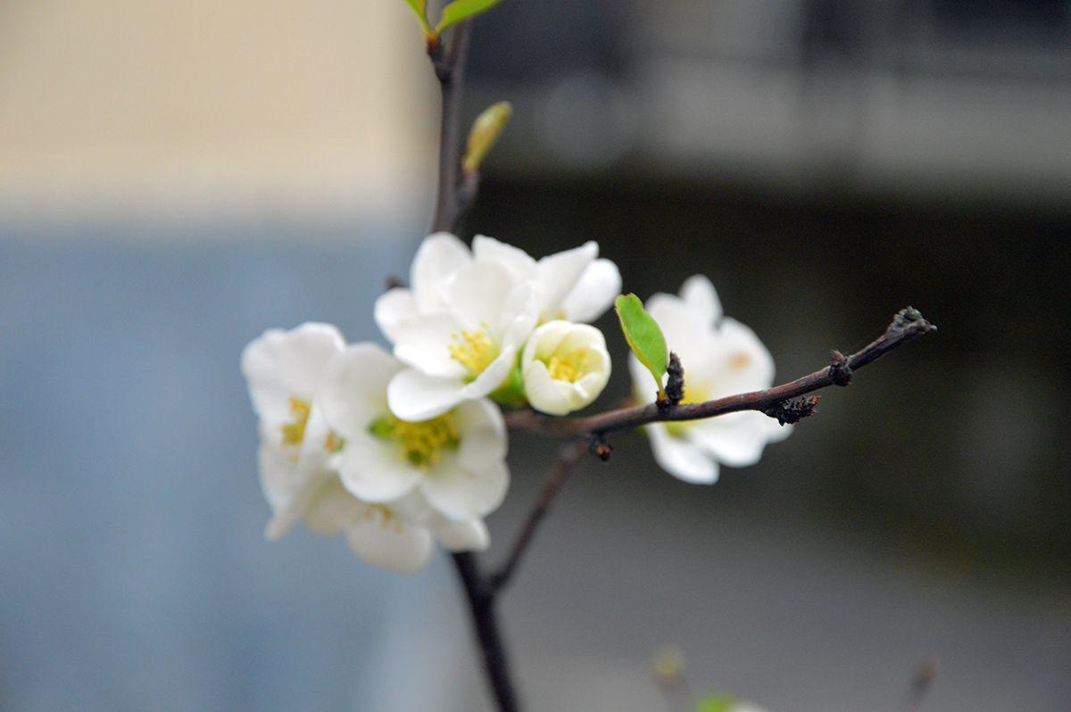 Cydonia oblonga - Il Cotogno è  una pianta della famgila delle Rosacee coltivata per i suo frutti. È una delle più antiche piante da frutto conosciute: era coltivato già nel 2.000 a.c. dai Babilonesi, tra i Greci era considerato frutto sacro ad Afrodite e in epoca romana era ben noto, venendo citato da Catone,Plinio e Virgilio. Tutti i diritti a Maria Rosa (foto e pianta§)
