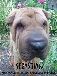 Adopt Sebastian On With Images Shar Pei Dog Dog Adoption Animal Control